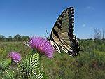 js720_tiger_swallowtail2_s