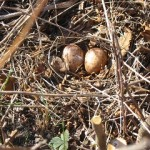 Woodcock Eggs