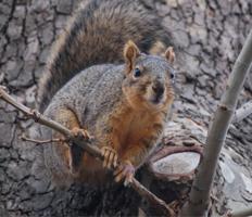 FoxSquirrelTree steve sullivan