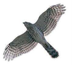 cooper hawk web