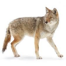 coyote d