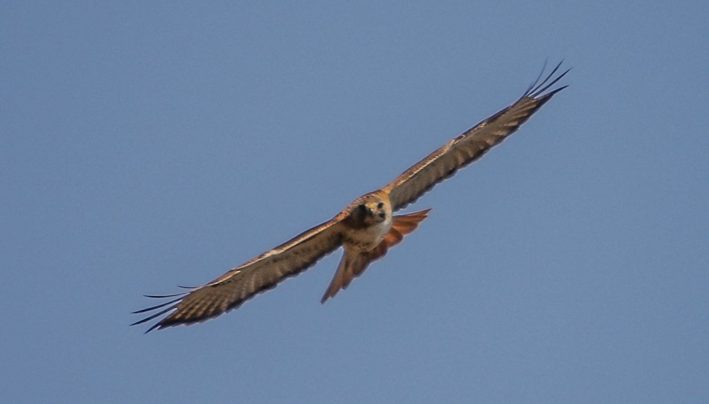 fid red tailed wrp 16