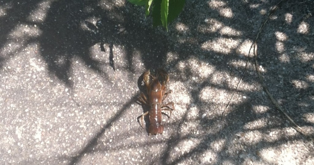 Tower Crayfish - Photo by Greg Jerzyk --Click to Enlarge